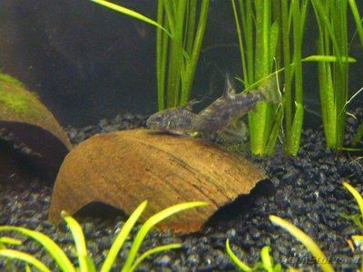 Помогите опознать рыбку опознание рыб  - P1060940.jpg
