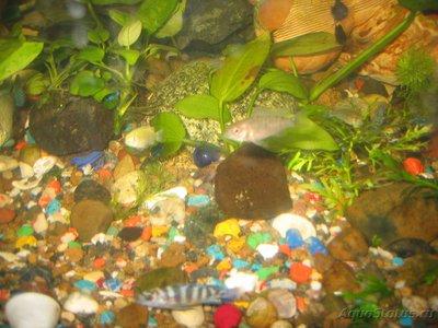Помогите опознать рыбку опознание рыб  - IMG_0015[1].JPG