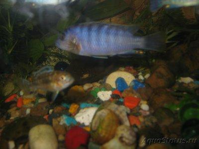 Помогите опознать рыбку опознание рыб  - IMG_0029[1].JPG