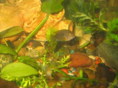 Помогите опознать рыбку опознание рыб  - IMG_0006[1].JPG