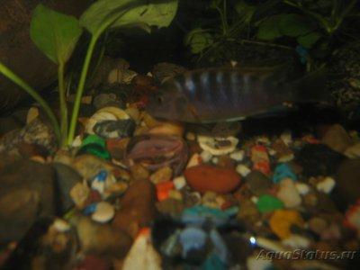 Помогите опознать рыбку опознание рыб  - IMG_0036[1].JPG