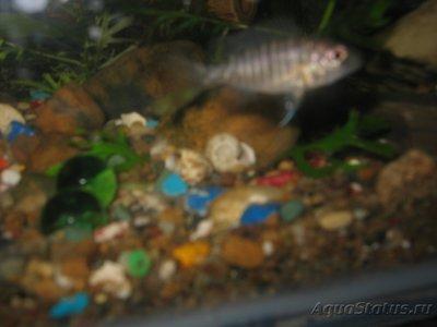 Помогите опознать рыбку опознание рыб  - IMG_0019[1].JPG