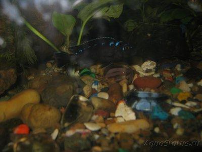 Помогите опознать рыбку опознание рыб  - IMG_0032[1].JPG