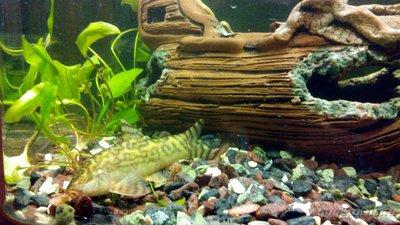 Мой аквариум 60 литров Акварина  - DSC_0450.jpg