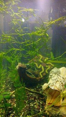 Мой аквариум 60 литров Акварина  - DSC_0460.jpg