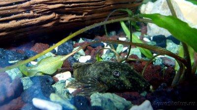 Мой аквариум 60 литров Акварина  - DSC_0573.jpg