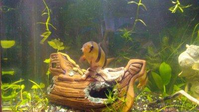 Мой аквариум 60 литров Акварина  - DSC_0467.jpg