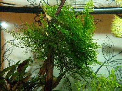 Опознание аквариумных растений - P1040301.JPG