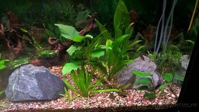 Первый аквариум 100 литров Евгений Аралов  - 33.jpg