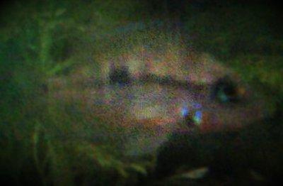 Помогите опознать рыбку опознание рыб  - ^ACE2DC616FB9818403221318C249656F0CF0A172452FD34AC6^pimgpsh_fullsize_distr.jpg
