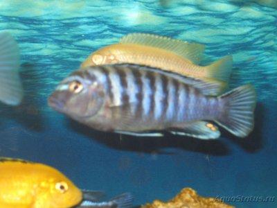 Помогите опознать рыбку опознание рыб  - IMG_2859[1].JPG