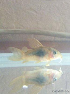 Помогите опознать рыбку опознание рыб  - IMG-1475786728744-V.jpg