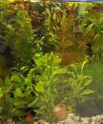 Аквариумные растения - опознание растений. - 20161020_201107.jpg