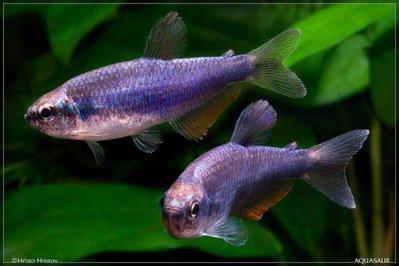 Помогите опознать рыбку опознание рыб  - s49716047.jpg