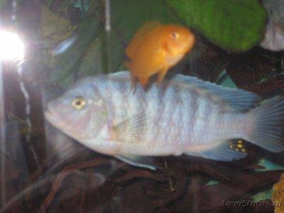 Помогите опознать рыбку опознание рыб  - IMG_2915[1].JPG
