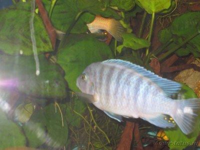 Помогите опознать рыбку опознание рыб  - IMG_2919[1].JPG