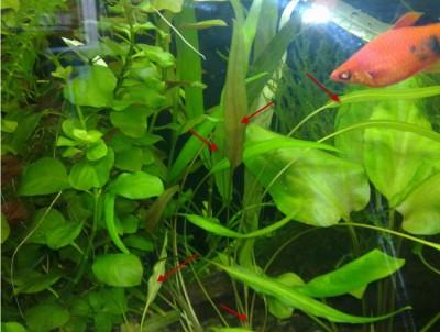 Опознание аквариумных растений - 04.05_новый размер.jpg