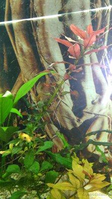 Аквариумные растения - опознание растений. - 1479107292847-829128670.jpg