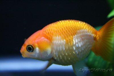 Асцит или водянка у рыб - Асцит-у-рыб.jpg