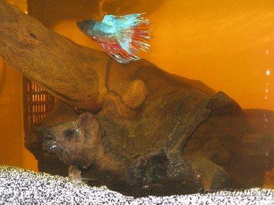 Желтая вода в аквариуме - Желтая-вода-в-аквариуме.jpg