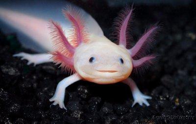 Аксолотль в аквариуме - Аксолотль.jpg