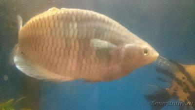 Помогите опознать рыбку опознание рыб  - DSC_0113[1].JPG
