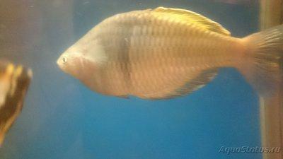Помогите опознать рыбку опознание рыб  - DSC_0112[1].JPG