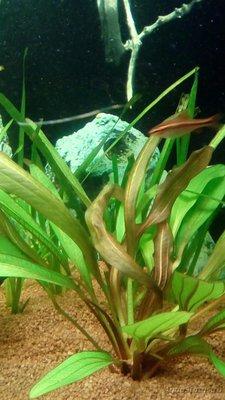 Опознание аквариумных растений - IMG_20170108_132110.jpg