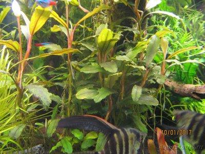 Аквариумные растения - опознание растений. - IMG_1498.JPG