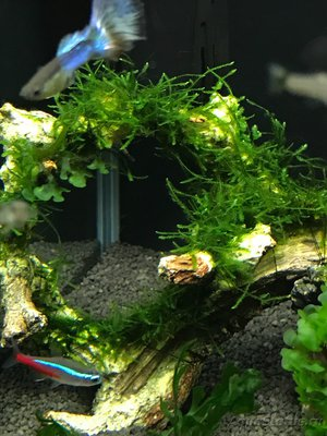 Мой нано-аквариум 30 литров kaiassowa  - IMG_6855.JPG