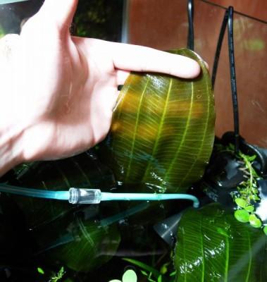 Аквариумные растения - опознание растений. - Эх.jpg