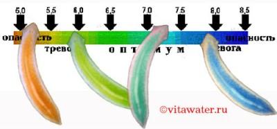 Это результаты экспериментов. Цвет червей сравнивали со шкалой рН, применяемой в нашем капельном тесте. После 12 часов пребывания в растворе нашего универсального индикатора планарии сами стали измерителями рН  - img2.jpg