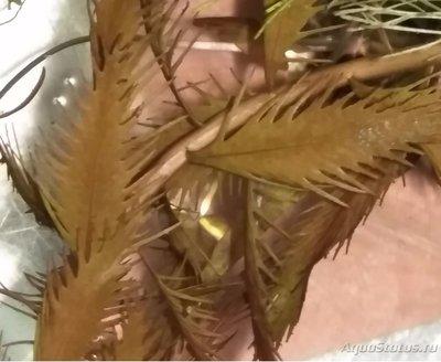 Аквариумные растения - опознание растений. - IMG_20170122_145115.jpg