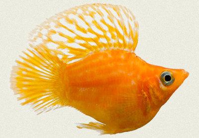 Помогите опознать рыбку опознание рыб  - molli4.jpg