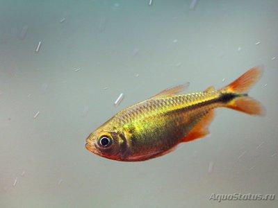 Помогите опознать рыбку опознание рыб  - ir_attachment_3287.jpeg