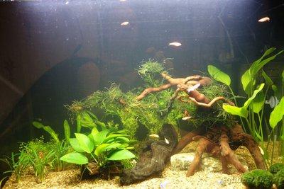 Мой аквариум и его обитатели, 70 литров Бошетунмай  - DSC04900.JPG
