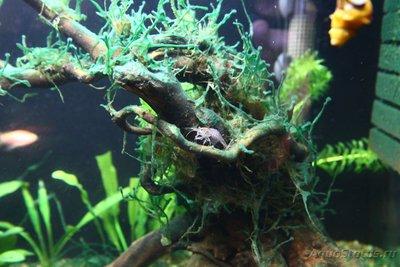 Мой аквариум и его обитатели, 70 литров Бошетунмай  - IMG_6725.JPG