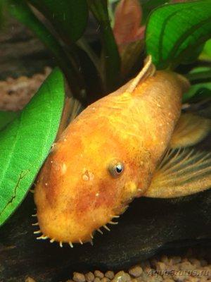 Определение и диагностика болезней у аквариумных рыб - IMG_0784.JPG