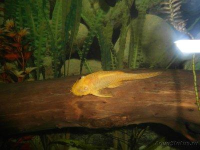 Помогите опознать рыбку опознание рыб  - SAM_0436.JPG