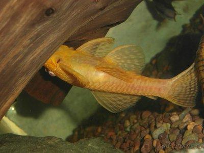 Помогите опознать рыбку опознание рыб  - SAM_0443.JPG