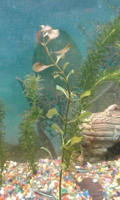 Аквариумные растения - опознание растений. - 20170213_155334.jpg