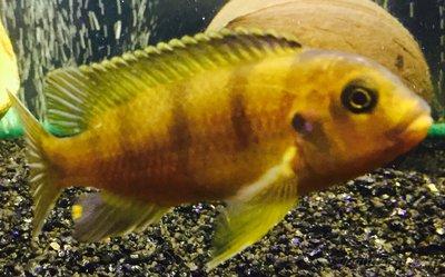 Помогите опознать рыбку опознание рыб  - IMG_3585.JPG