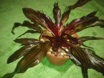 Аквариумные растения - опознание растений. - 2017-02-13 17.40.51.jpg
