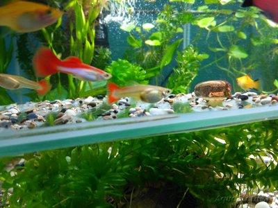 Беременна ли рыбка в аквариуме? - IMG_20170215_124105.jpg