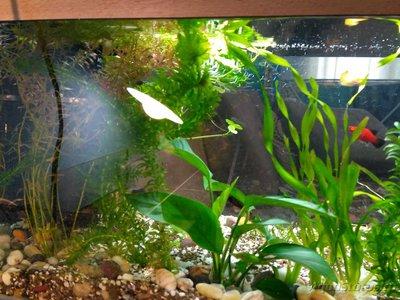 Беременна ли рыбка в аквариуме? - IMG_20170220_134136.jpg