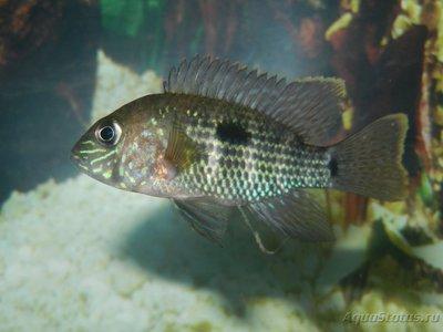 Помогите опознать рыбку опознание рыб  - DSCN8370.JPG