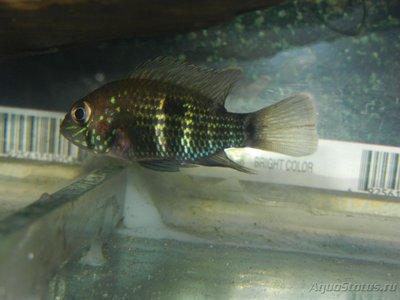 Помогите опознать рыбку опознание рыб  - DSCN8388.JPG