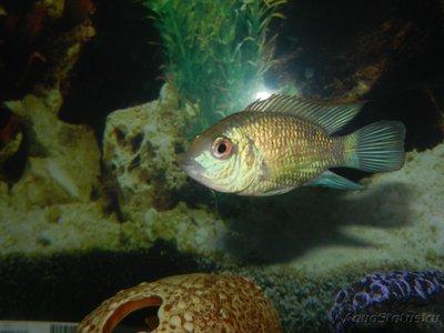 Помогите опознать рыбку опознание рыб  - DSCN8374.JPG