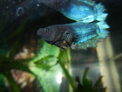Помогите опознать рыбку опознание рыб  - DSCN8367.JPG