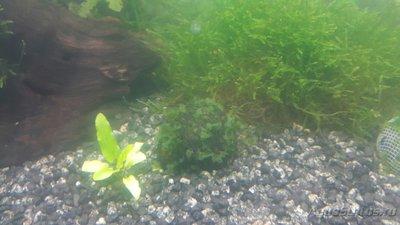 Опознание аквариумных растений - M2-9q3go8Ko.jpg